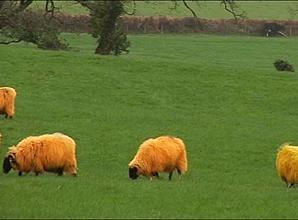 ovelha-amarela